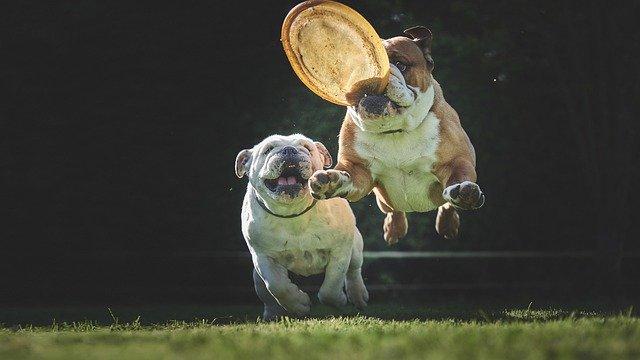 bulldog 5071407 640