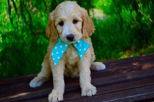 goldendoodle cute