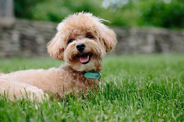 Poodle mix breed dogs