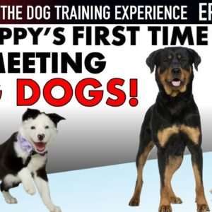 NEW EPISODE! My Puppy's First Time Meeting BIG Dogs and WAY More! (Dog Training Experience Ep. 9)