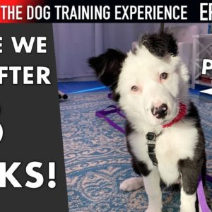 Where I Am After 3 Weeks of Training My Puppy! (Dog Training Experience Ep. 10)