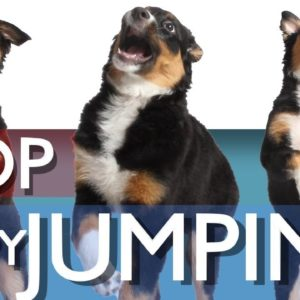 3 Ways To Stop Your Puppy From Jumping!