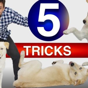 How To Train 5 Tricks in 5 Minutes!