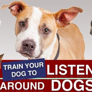 How To Train Your Puppy To Listen Around Other Dogs!