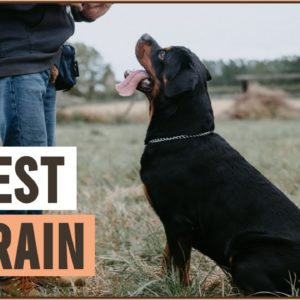 10 Most Trainable Dog Breeds - Easy To Train Dog Breeds