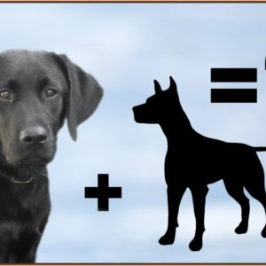 10 Unbelievable Labrador Mix Breeds