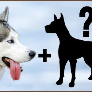 9 Husky Mix Breeds | Siberian Husky Cross Breeds