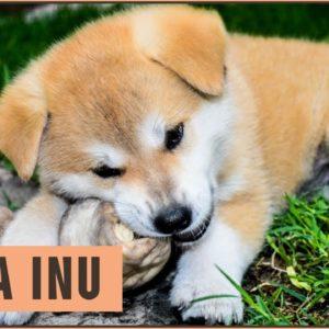 Akita Inu - Dog Breed Information