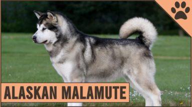 Alaskan Malamute - Dog Breed Information
