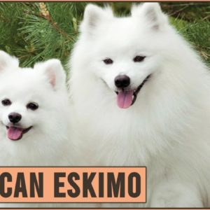 American Eskimo - Dog Breed Information