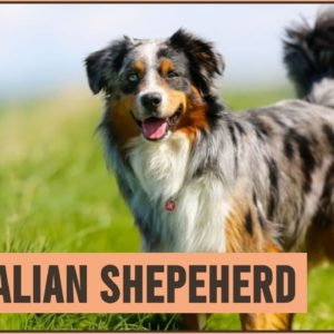 Australian Shepherd Dog Breed Information