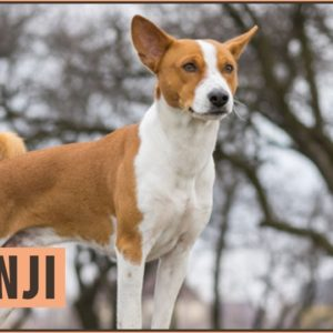 Basenji Dog Breed Information