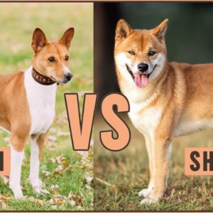 Basenji vs Shiba Inu - Which is better for you?