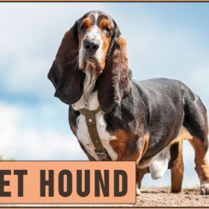Basset Hound - Dog Breed Information