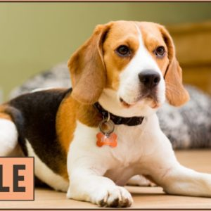 Beagle - Dog Breed Information