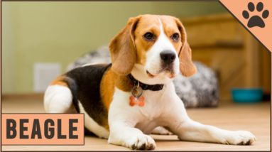 Beagle - Dog Breed Information
