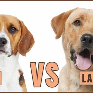 Beagle vs Labrador - Dog vs Dog Comparison