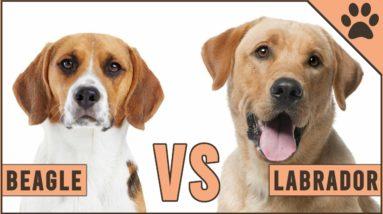 Beagle vs Labrador -  Dog vs Dog Comparison