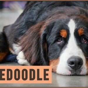 Bernedoodle - Mix of Poodle and Bernese Mountain Dog