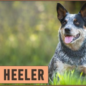 Blue Heeler Dog Breed - The Australian Cattle Dog