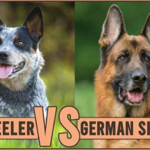 Blue Heeler vs German Shepherd