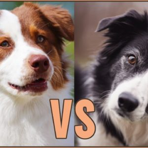 Border Collie vs Australian Shepherd - DIFFERENCES