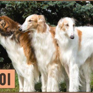 Borzoi Dog Breed Information & Facts