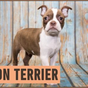 Boston Terrier - Dog Breed Information