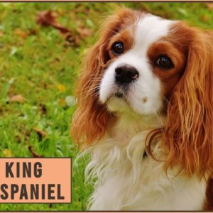 Cavalier King Charles Spaniel - Dog Breed Information