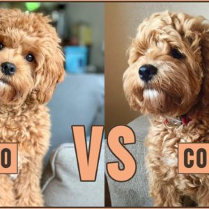 Cavapoo vs Cockapoo - Compare Two Poodle Mix Breeds