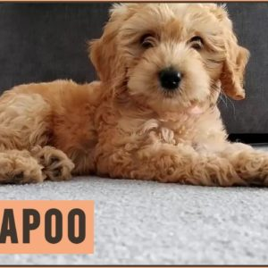 Cockapoo - Why Get A Cockapoo?