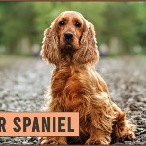 Cocker Spaniel - Dog Breed Information