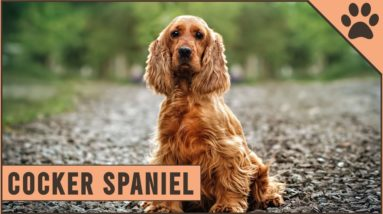 Cocker Spaniel - Dog Breed Information