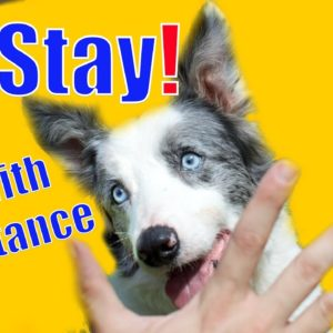 Dog Training 101: How to teach Stay with Distance