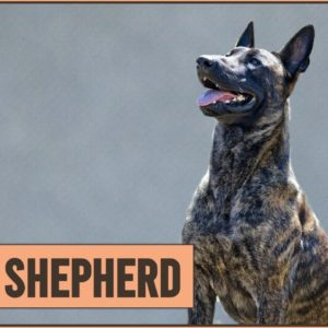 Dutch Shepherd Dog Breed Information