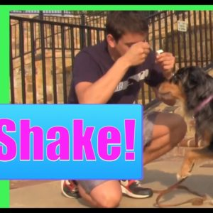 By far, the easiest trick to teach your dog (How to teach your dog to shake)