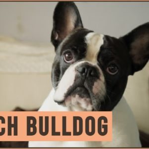 French Bulldog - Dog Breed Information