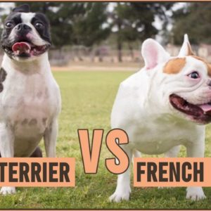 French Bulldog vs Boston Terrier - Which Breed Is Better?