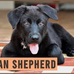 German Shepherd - Dog Breed Information