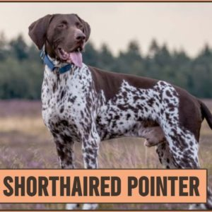 German Shorthaired Pointer - Dog Breed Information