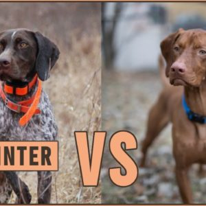 German Shorthaired Pointer vs Vizsla