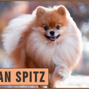German Spitz - Everything you need to know