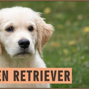 Golden Retriever - Dog Breed Information