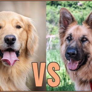 Golden Retriever vs German Shepherd