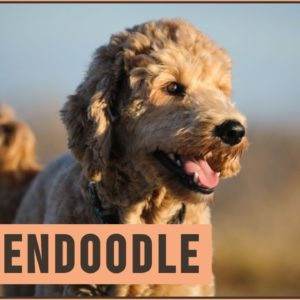 Goldendoodle - Characteristics & Advice