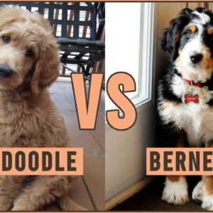 Goldendoodle vs Bernedoodle - Which Dog Is Better?