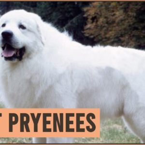 Great Pyrenees - Pyrenean Mountain Dog