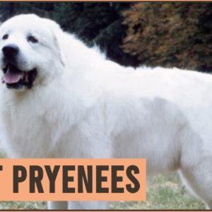 Great Pyrenees - Pyrenean Mountain Dog
