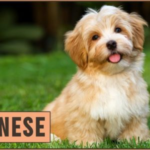 Havanese Dog Breed Information- Friendly Family Dog