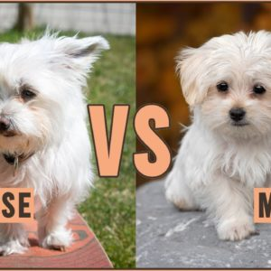 Havanese vs Maltese - Dog Breed Comparison